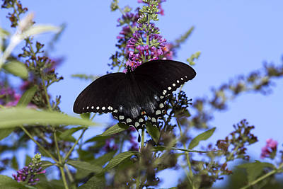 Photograph - Black Swallowtail Butterfly by Trudy Wilkerson
