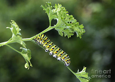 Photograph - Black Swallowtail Caterpillar by Nancy Greenland