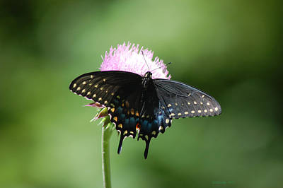 Black Swallowtail In Macro Art Print