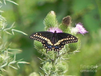 Sandy Owens Photograph - Black Swallowtail by Sandy Owens