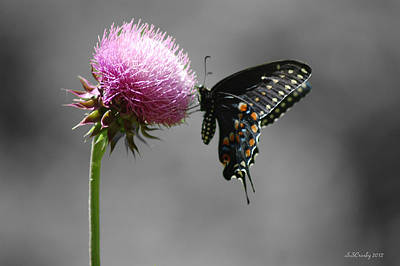 Black Swallowtail With Thistle Art Print