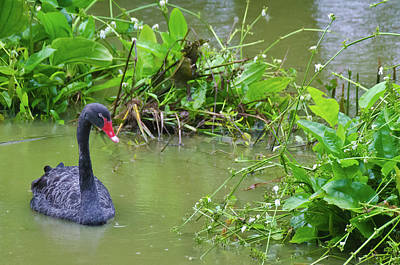 Photograph - Black Swan by Harry Strharsky
