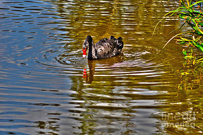 Photograph - Black Swan On Pond by Joanne Kocwin