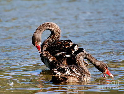 Photograph - Black Swans by Johanne Peale
