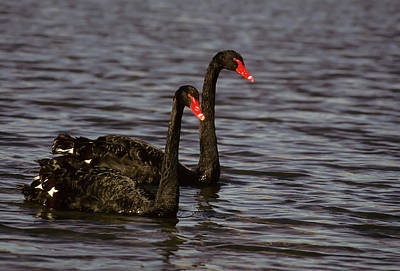 Photograph - Black Swans by John Brink