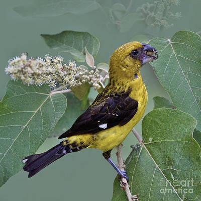 Birds Photograph - Black-thighed Grosbeak - Dp by Heiko Koehrer-Wagner