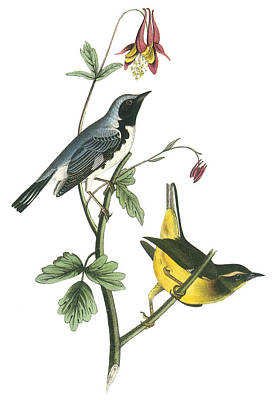 Warbler Painting - Black-throated Blue Warbler by John James Audubon