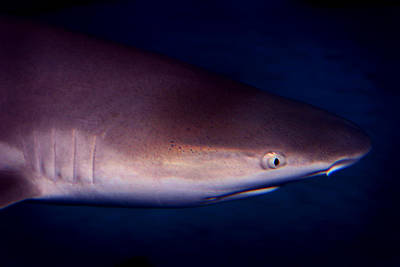 Photograph - Black Tip Reef Shark by Anthony Jones