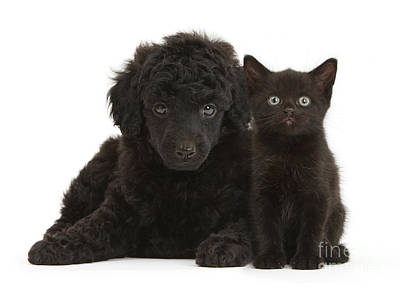 Black Toy Poodle And Black Kitten Art Print by Mark Taylor