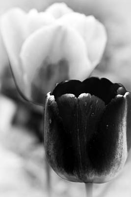 Photograph - Black Tulip by Emanuel Tanjala