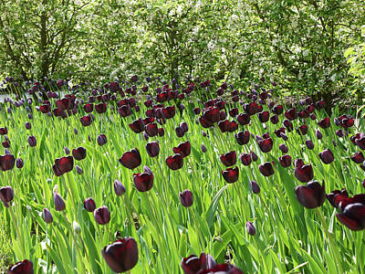Photograph - Black Tulips by Robert Shard