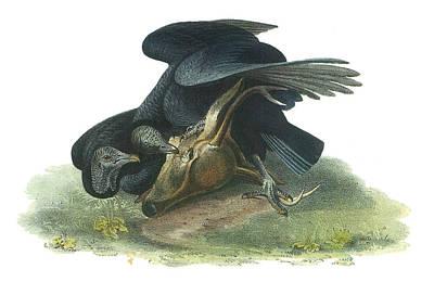 Vulture Painting - Black Vulture by John James Audubon