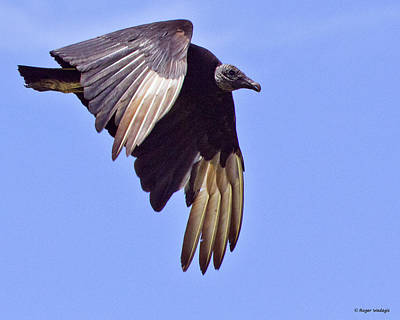 Black Vulture Print by Roger Wedegis