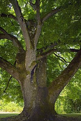 Walnut Tree Photograph - Black Walnut (juglans Nigra) Tree by Bob Gibbons