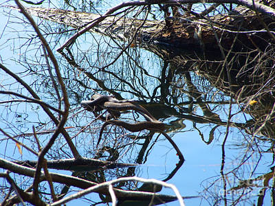 Photograph - Black Water Snakes Photograph by Kristen Fox