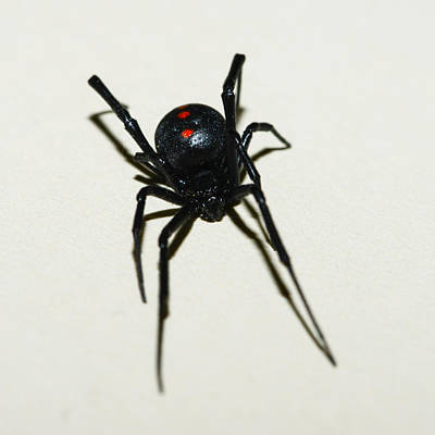 Black Widow Spider Photograph - Black Widow Polka Dots by David Waldo