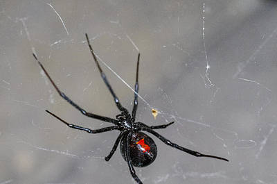 Spider Photograph - Black Widow Spider by Scott McGuire
