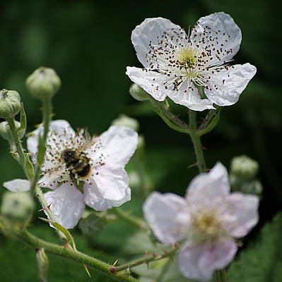 Widflower Photograph - Blackberry Blooms by Ansel Price