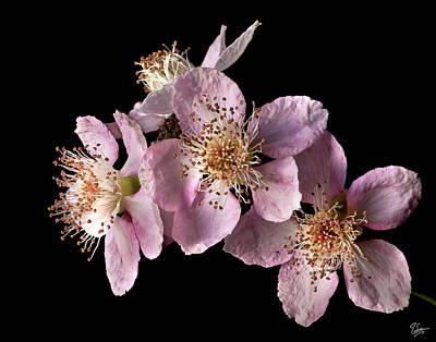 Photograph - Blackberry Flowers by Endre Balogh