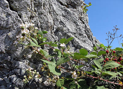 Photograph - Blackberry On The Rock 04 by Ausra Huntington nee Paulauskaite