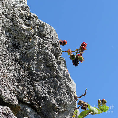 Photograph - Blackberry On The Rock Top. Square Format by Ausra Huntington nee Paulauskaite