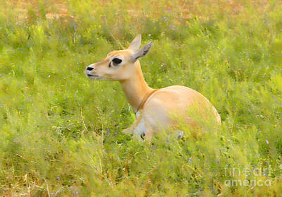 Photograph - Blackbuck Female by Diana Cox