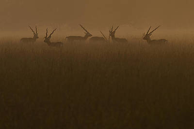 Blackbucks At Sunrise Art Print by Pramod Bansode