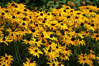 Photograph - Blackeyed Susan by Joe Faherty