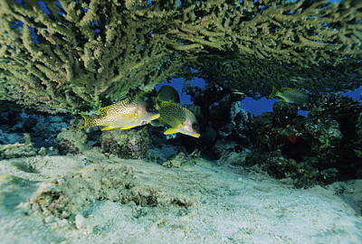 Blackspotted Photograph - Blackspotted Sweetlips Fish by Alexis Rosenfeld