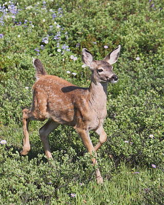 Photograph - Blacktail Fawn by Angie Vogel