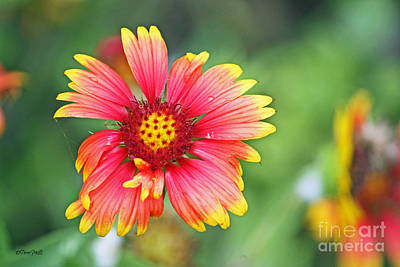 Photograph - Blanket Flower Close-up 01 by Terri Mills
