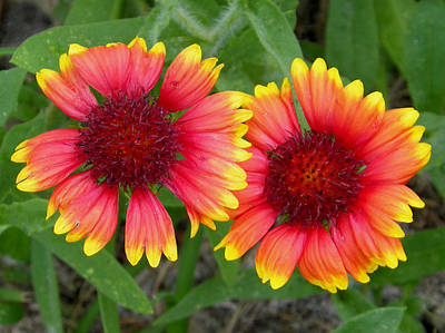 Blanket Flowers Art Print by Judy Wanamaker