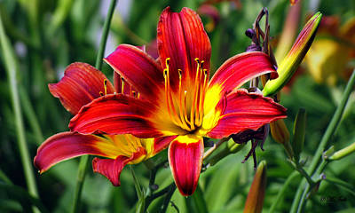 Photograph - Blaze Tiger Lilies by Ms Judi