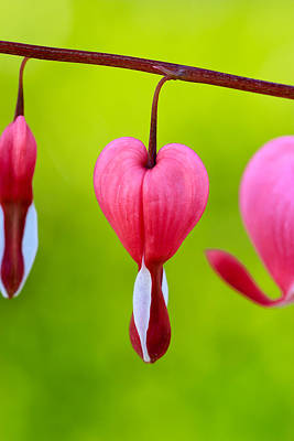 Photograph - Bleeding Heart by Heidi Smith