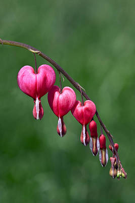 Art Print featuring the photograph Bleeding Hearts by David Lester