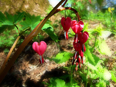 Photograph - Bleeding Hearts Photograph by Kristen Fox