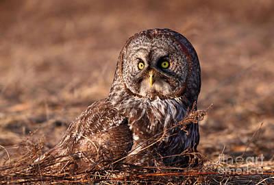 Ggo Photograph - Blending In   Great Gray Owl by Gary Fairhead