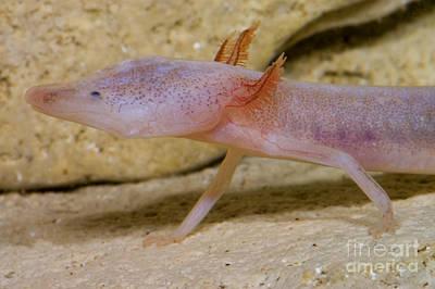 Plethodontidae Photograph - Blind Salamander by Dante Fenolio