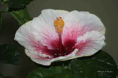 Photograph - Blood Red Hibiscus  by Deborah Hughes