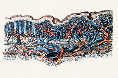 Blood Vessels In Stomach Wall Art Print