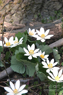 Bloodroot Photograph - Bloodroot by Ted Kinsman