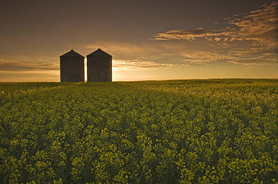 Bloom Stage Canola Field With Grain Art Print by Dave Reede