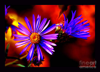 Blooming Asters Art Print by Susanne Still