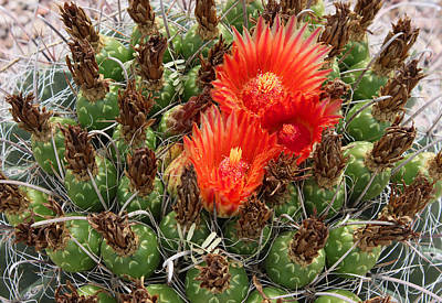 Blooming Cactus Art Print by Suzanne Gaff