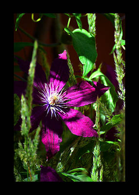 Art Print featuring the photograph Blooming Clematis by Susanne Still