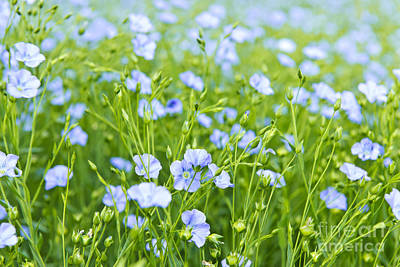 World War 2 Action Photography - Blooming flax by Elena Elisseeva
