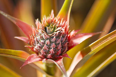 Blooming Pineapple II Print by Ron Dahlquist