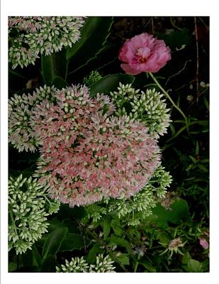 Photograph - Blooming Pink by Frank Wickham