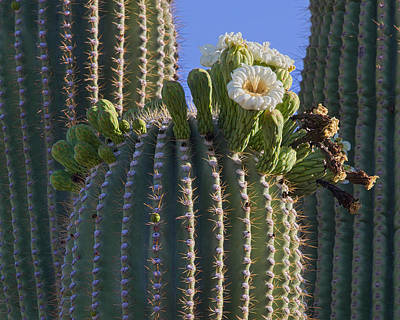 Blooming Saguaro   Sonora Desert Art Print by Nathan Mccreery
