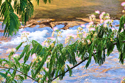 Mimosa Flowers Photograph - Blooms Over The River by Jan Amiss Photography